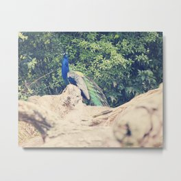 The Prideful Peacock Metal Print
