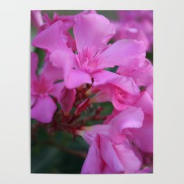 Pink Oleander Flower  Poster