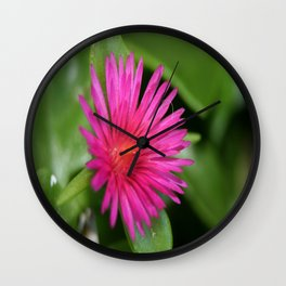 Pink Flower of Succulent Carpet Weed  Wall Clock