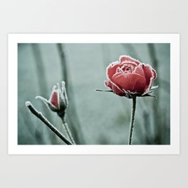 frosted rose and bud in the cold winter Art Print