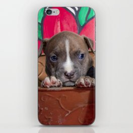 Cute Brother and Sister Pitbull Puppies with Blue Eyes Cuddling Together in a Spring Basket iPhone Skin