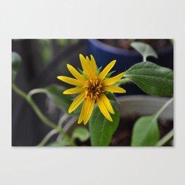 pot sunny Canvas Print