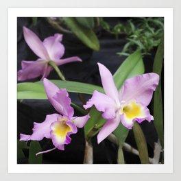 Cattleya Horace Maxima Orchid Art Print