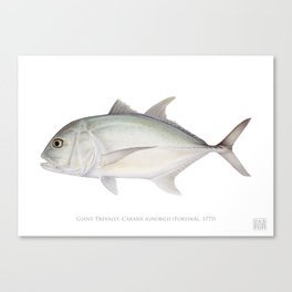 Giant Trevally, Caranx ignobilis (Forsskål, 1775) Canvas Print