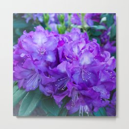 Majestic Purple Rhododendron Metal Print