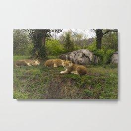 Lionesses Metal Print