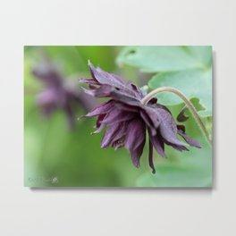 Columbine named Miss M.I. Huish Metal Print
