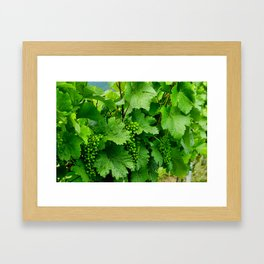 Green Grape Clusters Among the Vines Framed Art Print