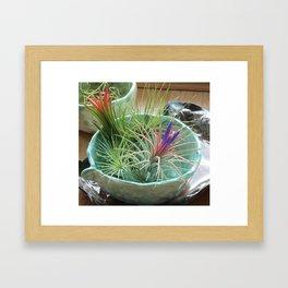 Tillandsia Ionantha in Bloom Framed Art Print