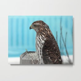 Hawk on the Outer Banks Metal Print