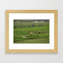 Grizzly bear and yearling cubs graze in Denali Framed Art Print