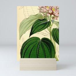 Amphiblemma cymosum 90 5473 Mini Art Print