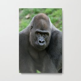 Western Lowland Gorilla Metal Print