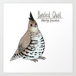 Banded Quail Art Print