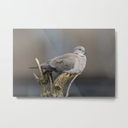 Red-Eyed Dove Metal Print