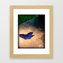 Blue Butterfly Photo Art Fine Art Mud Puddling Red Spotted Purple  Framed Art Print