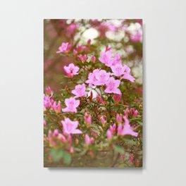 Azaleas blooming Metal Print
