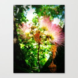 Mimosa Flower Canvas Print