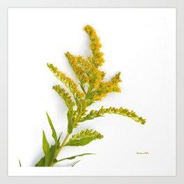 Goldenrod Flower Art Print