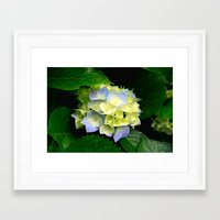 hydrangea Framed Art Prints featuring Hydrangea  by Chris' Landscape Images & Designs