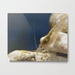 Amano shrimp 1 Metal Print