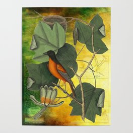 Baltimore Oriole on Tulip Tree, Vintage Natural History and Botanical Poster