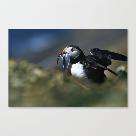 PUFFIN LANDING WITH SANDEELS Canvas Print