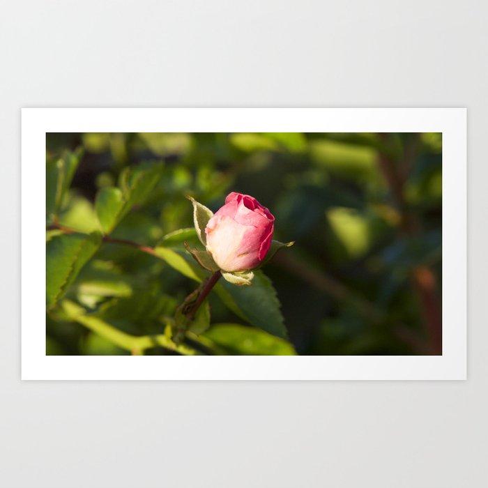 Closed Pink Rose Art Print