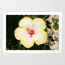 Pale Yellow Hibiscus Flower - Front View  Art Print