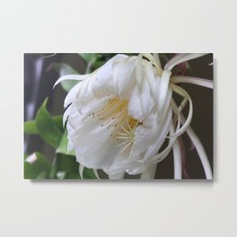 Unusual flower - Queen of the Night (Epiphyllum Oxypetalum) Metal Print