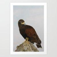 Harris Hawk Art Print
