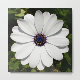 Beautiful Blossoming White Osteospermum  Metal Print