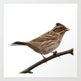 Rustic Bunting Bird Vector Isolated Art Print