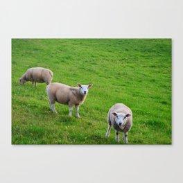 Ireland's sheeps Canvas Print