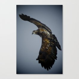 Eagle yearling 2 Canvas Print