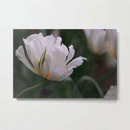 Expressive White Tulip Metal Print
