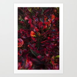 Croton in Red Art Print