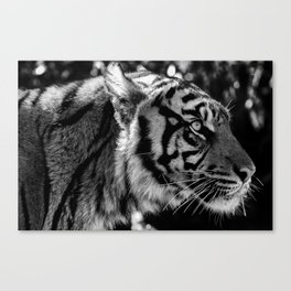 TIGERS STARE Canvas Print