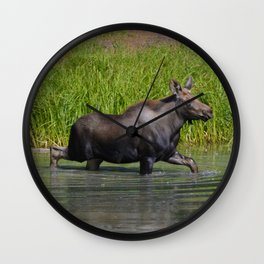 Moose calf in moose lake in Jasper National Park Wall Clock