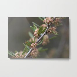 Closeup Mountain Laurel in Utah Metal Print