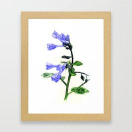 Virginia Bluebells Framed Art Print