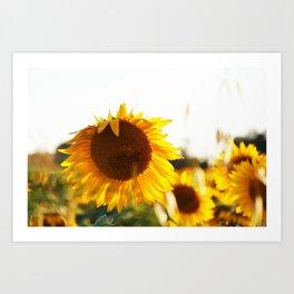 Sunflowers at sunset time Art Print
