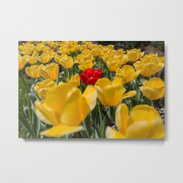 Many yellow tulips and one red Metal Print