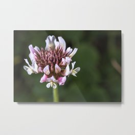 Red Clover Flower Metal Print