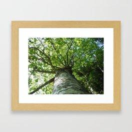 Sacred Birch by Mandy Ramsey, Haines, AK Framed Art Print
