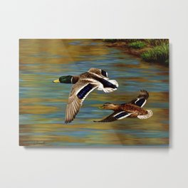 Mallard Ducks in Flight Metal Print
