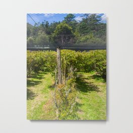 Blueberry Bushes Under Netting Metal Print