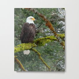 Bald Eagle Looking At You Metal Print