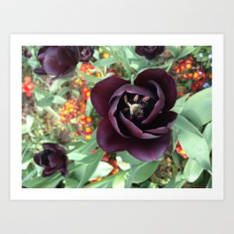 black tulip Art Print