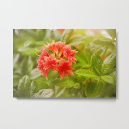 Rhododendron called Azalea red flowers Metal Print